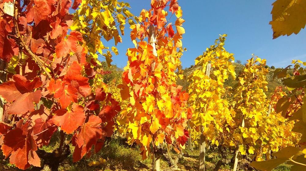 vignoble couleur automne