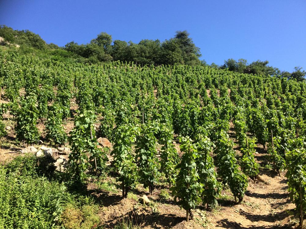 vignoble de Saint Joseph en terrasse