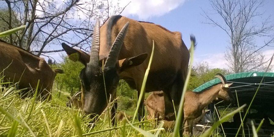 La Chèvrerie de Limenesse